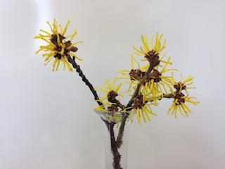園芸室東側のマンサクの花