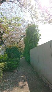 正門前の葉桜