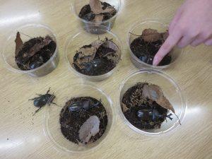 成虫になったカブトムシたち